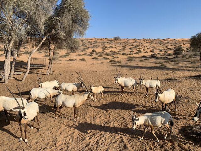 Kozy v púšti