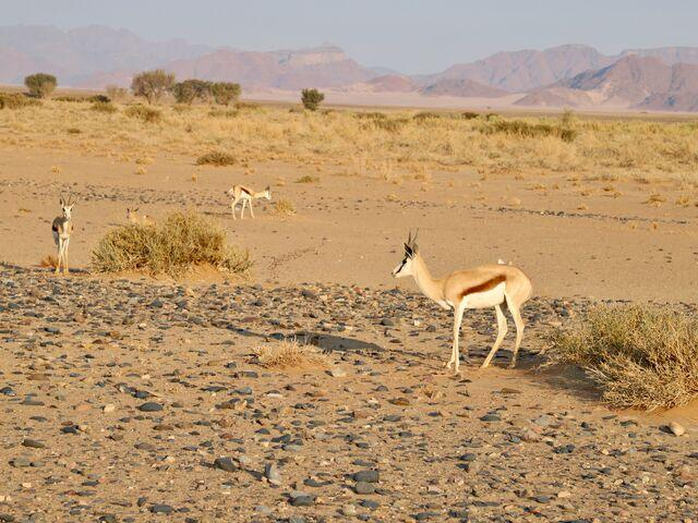 Druh gazely v namíbii
