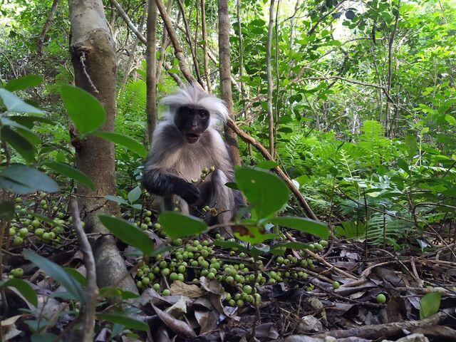 Opica guaréza na zanzibare