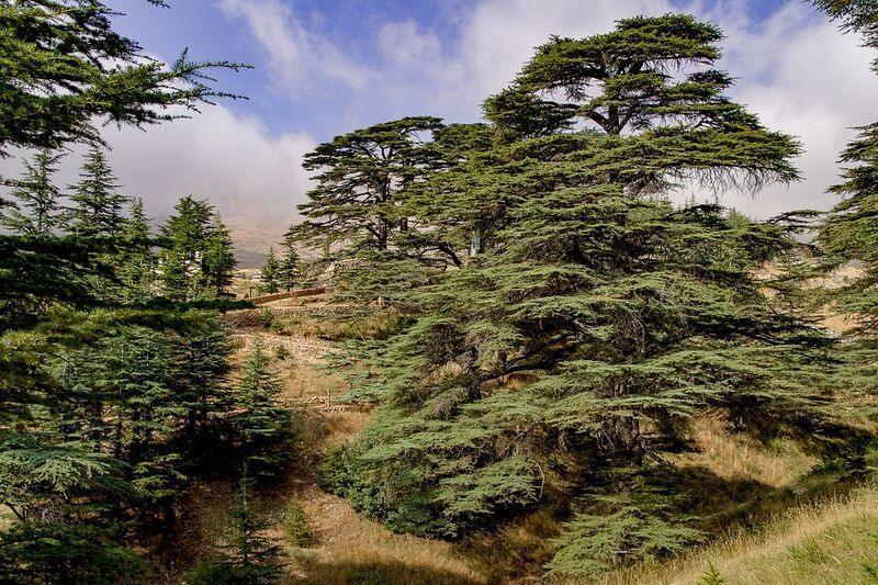 Cédrové stromy v libanone