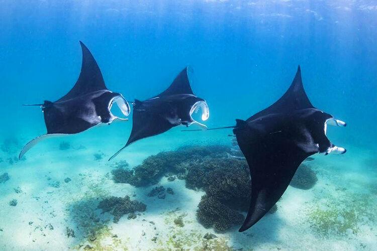 Plávajúce manty