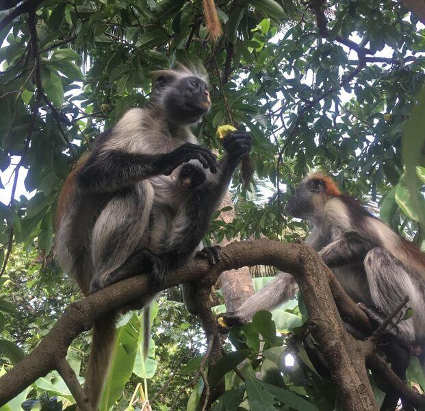 Opice na zanzibare