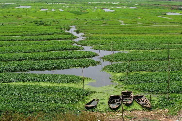 Ryžové polia v kambodži