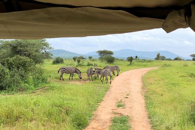 Zebry v safari