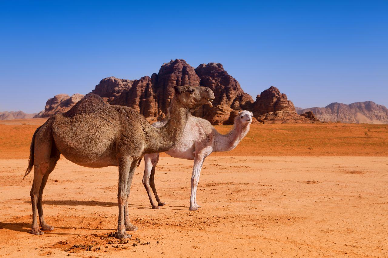 Ťavy v púšti wadi rum