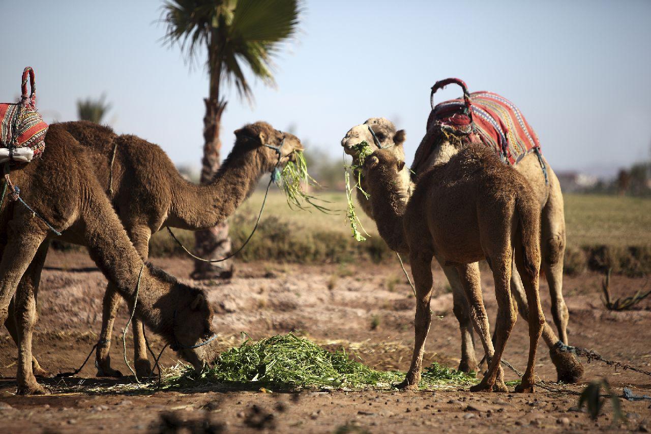 Ťavy v púšti v maroku