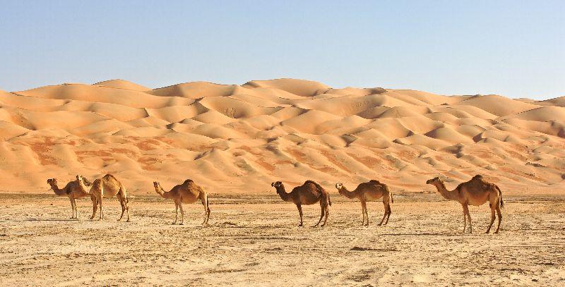 Ťavy na púšti v ománe