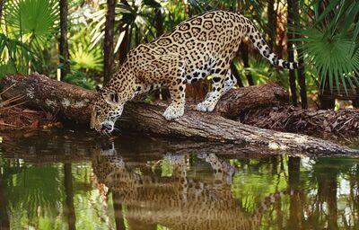 Leopard-Škandinávia