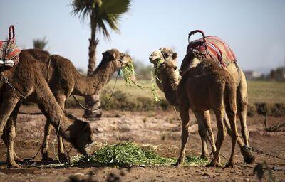 Ťavy na púšti v Marakéši