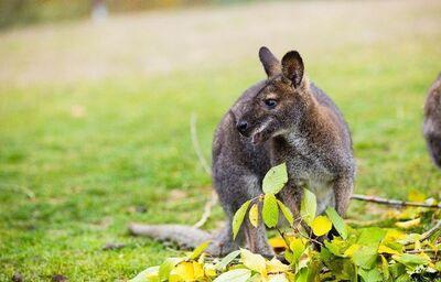 Klokan v Austrálii