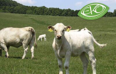 Kravy pasúce sa na lúke