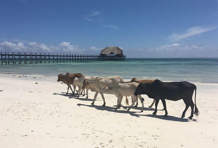 Pláž a dobytok Zanzibar - poznávanie afrického raja