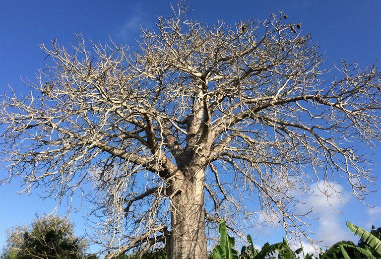Tradičné baobaby Zanzibar - poznávanie afrického raja