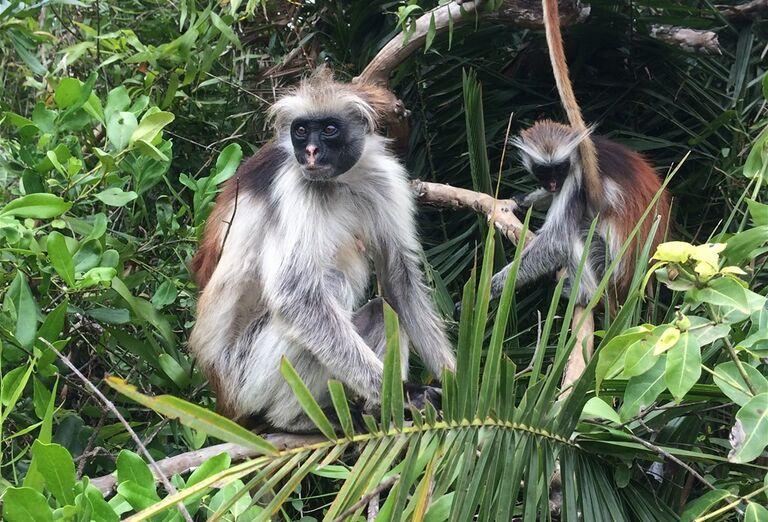 Opice v džungli Zanzibar - poznávanie afrického raja