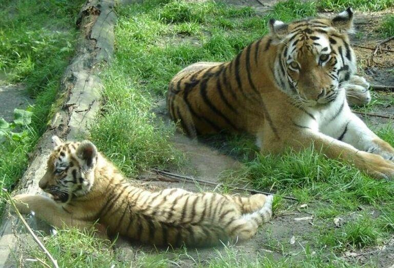 Párik tigrov v Zoo Dvur Králové
