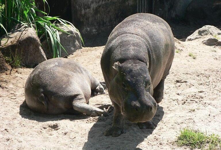 Hrochy v Zoo Dvur Králové