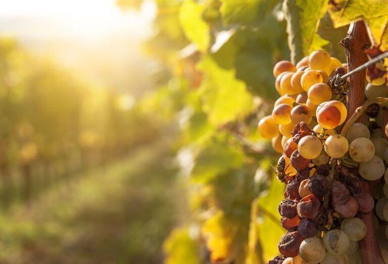 Západ slnka pri viniciach