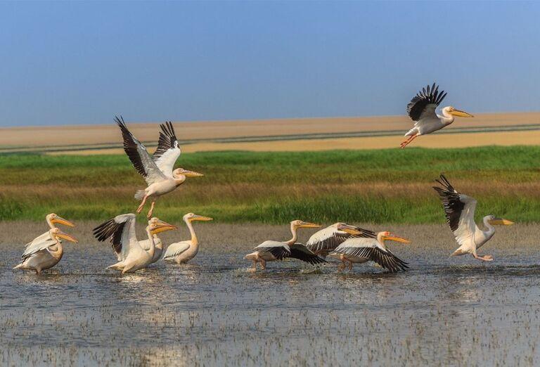 Kŕdel pelikánov na jazere Nebune