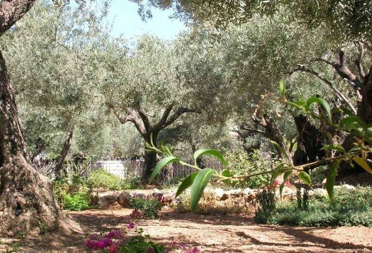 Olivová záhrada