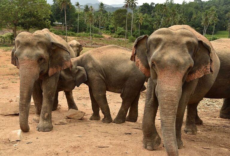 Slony v Pinnawale
