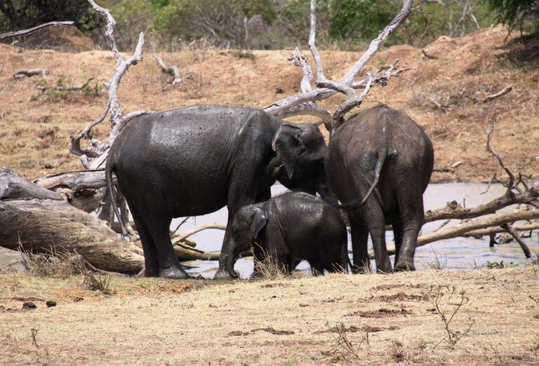 Kúpanie slonov v Pinnawale
