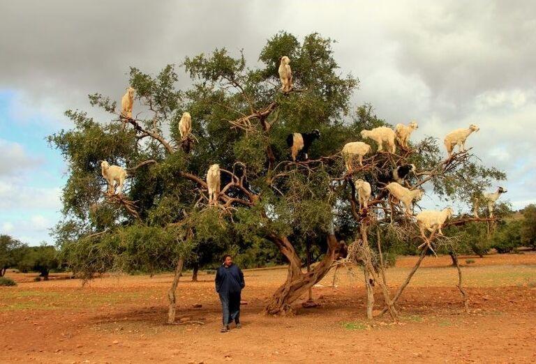 Tradiční pastieri kôz na stromoch