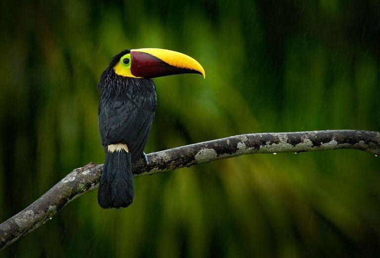 Tradičný tukan na Paname