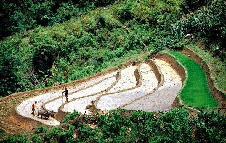 Sadenie ryže na plantážach