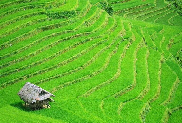 Ryžové plantáže vo Vietname