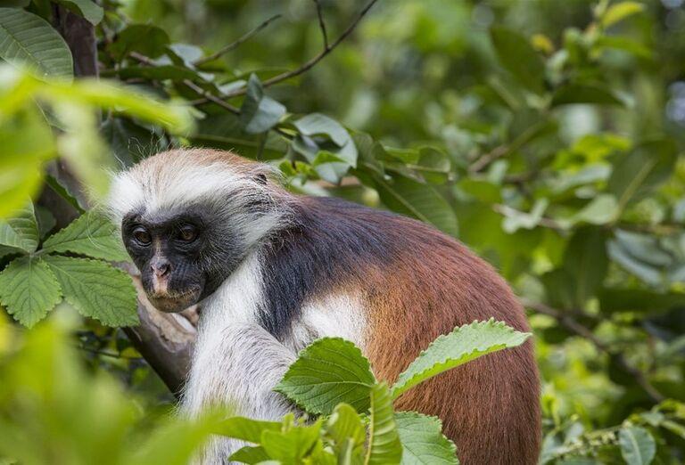 Červená opica Colobus