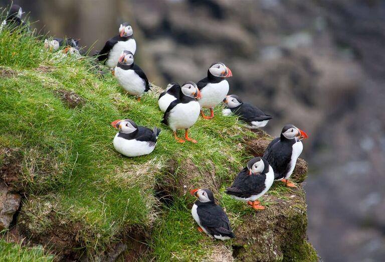 Island Alka bielobradá