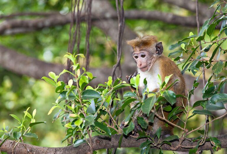Srí Lanka - malá opica sedí na strome