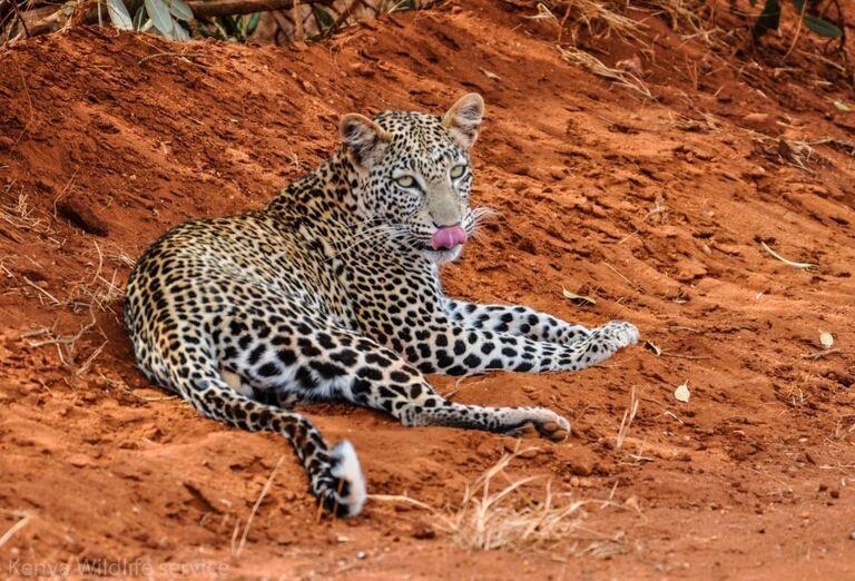 Keňa - Dokonale safari a oddych na bielej pláži- jaguár