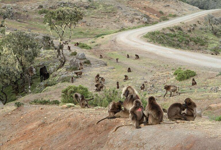 Etiópia - Historická cesta a nádherné pohorie Simien, opice v prírode