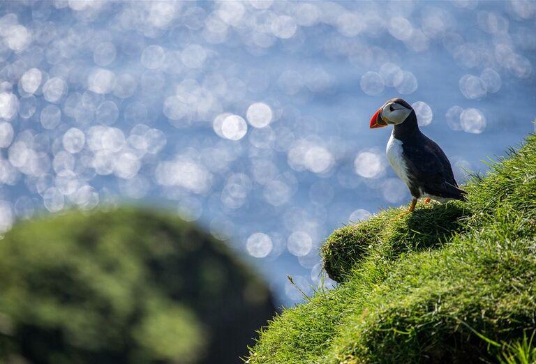 Faerské ostrovy - vták